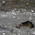 America's rats are getting desperate amid coronavirus pandemic