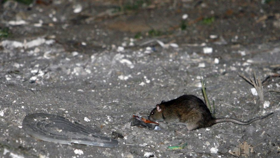 America's rats are getting desperate amid coronavirus pandemic