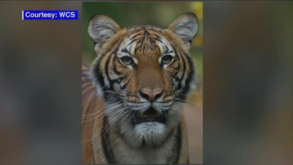 Tiger infected with coronavirus