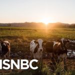 Study: Cattle Industry Could Lose Up To $13.6B Due To Coronavirus Pandemic | MSNBC