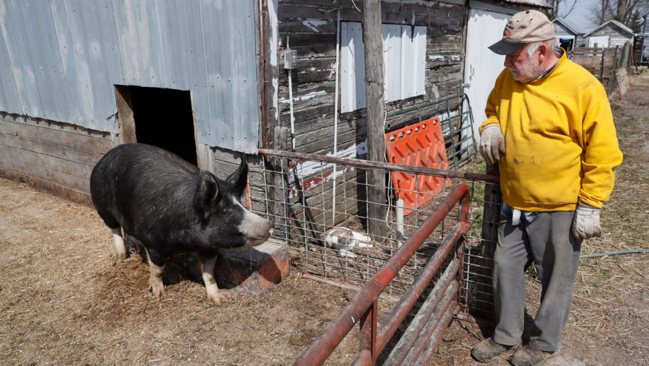 Pork producers could kill hogs to offset losses from coronavirus