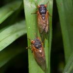 After 17 Years Underground, Cicadas Stage a 2020 Southern Invasion