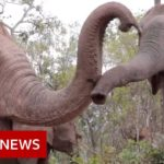Elephants flee to survive coronavirus starvation – BBC News
