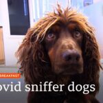 Sniffer dogs trained to detect coronavirus in less than a second @BBC News LIVE on iPlayer 🔴 – BBC