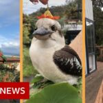 The birds on the balcony that found TikTok fame – BBC News