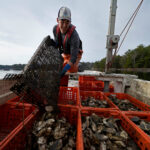 Pandemic-hit oyster farmers turn to conservation to survive